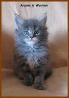 Foto 5 Wunderschönes Maine Coon Mädchen in blue (silver) torbie