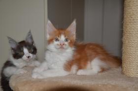Foto 2 Wundersch�nes Typvolle Maine Coon Kitten M�nnliche und M�dchen