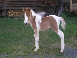 Wunderschönes, braves Ponyfohlen im Pongau zu verkaufen