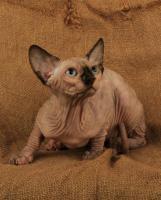 Foto 3 Wundervolle Kanadischer Sphynx Kätzchen