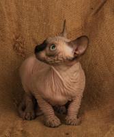 Foto 5 Wundervolle Kanadischer Sphynx Kätzchen
