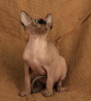 Foto 6 Wundervolle Kanadischer Sphynx Kätzchen