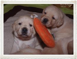 Wundervolle Labradorwelpen suchen neuen Wirkungskreis mit Sofa