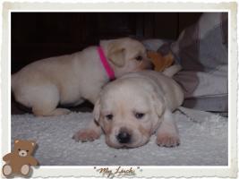 Foto 6 Wundervolle Labradorwelpen suchen neuen Wirkungskreis mit Sofa