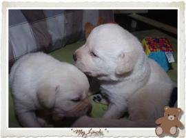 Foto 8 Wundervolle Labradorwelpen suchen neuen Wirkungskreis mit Sofa