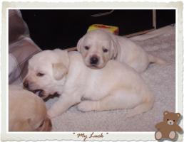 Foto 9 Wundervolle Labradorwelpen suchen neuen Wirkungskreis mit Sofa