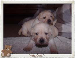 Foto 10 Wundervolle Labradorwelpen suchen neuen Wirkungskreis mit Sofa