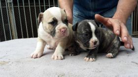Wundervolle ''Shorty Bulldogg'' Welpen aus erfahrener Zucht