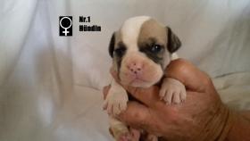 Foto 2 Wundervolle ''Shorty Bulldogg'' Welpen aus erfahrener Zucht