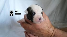 Foto 3 Wundervolle ''Shorty Bulldogg'' Welpen aus erfahrener Zucht