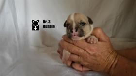 Foto 4 Wundervolle ''Shorty Bulldogg'' Welpen aus erfahrener Zucht