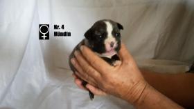 Foto 5 Wundervolle ''Shorty Bulldogg'' Welpen aus erfahrener Zucht