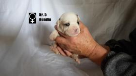 Foto 6 Wundervolle ''Shorty Bulldogg'' Welpen aus erfahrener Zucht