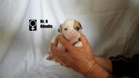 Foto 7 Wundervolle ''Shorty Bulldogg'' Welpen aus erfahrener Zucht