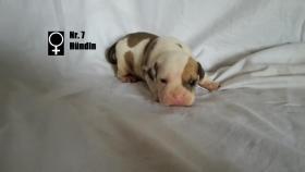 Foto 8 Wundervolle ''Shorty Bulldogg'' Welpen aus erfahrener Zucht