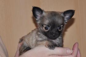 Foto 3 Wundervolle, kleinbleibende Chihuahuawelpen, Rüden, LH, mit Ahnentafel