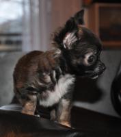 Foto 4 Wundervolle, kleinbleibende Chihuahuawelpen, Rüden, LH, mit Ahnentafel