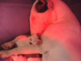 Wurf ank�ndigung. Miniatur Bullterrier-Old Engl.Bulldog Mix Welpen