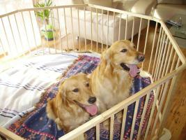 Wurfank�ndigung Golden Retriever im Mai 2010
