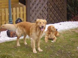 Foto 2 Wurfankündigung Golden Retriever im Mai 2010