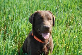 Foto 6 Wurfankündigung Labrador Welpen