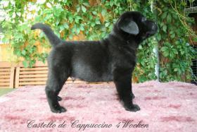 Wurfankündigung Labradorzucht anfang März