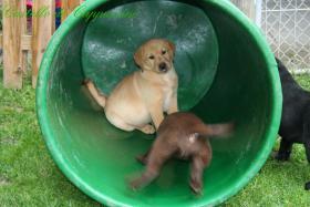 Foto 2 Wurfankündigung Labradorzucht anfang März