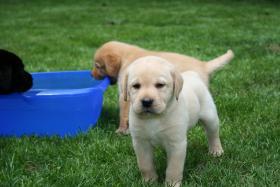Foto 3 Wurfankündigung Labradorzucht anfang März