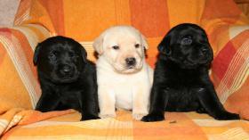 Wurfankündigung anfang Mai Labradorzucht