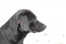 Wurfankündigung silber und charcoal Labrador Welpen !