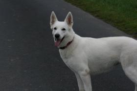 Foto 3 Wurferwartung Weiße Schäferhund-Welpen vom Dyck