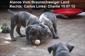 Foto 3 Wurfmeldung! Alanos vom Braunschweiger Land