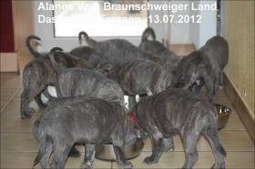 Foto 6 Wurfmeldung! Alanos vom Braunschweiger Land