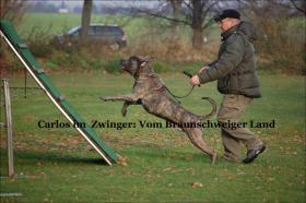 Foto 11 Wurfmeldung! Alanos vom Braunschweiger Land
