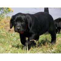 Wurfplanung Labrador Welpen HD, ED freier Verpaarung, Arbeitslinie, mit Papieren