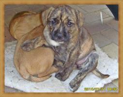 Foto 3 Wuschelig werdende Französische Bulldogge Terrier Edel Mix