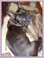 Foto 5 Wuschelig werdende Französische Bulldogge Terrier Edel Mix
