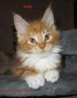 XXL Maine Coon Kitten Kätzin red + creme inkl. gechipter Stammbaum + Zuchtfreischaltung OHNE Aufpreis