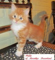 Foto 2 XXL Maine Coon Kitten Kätzin red + creme inkl. gechipter Stammbaum + Zuchtfreischaltung OHNE Aufpreis