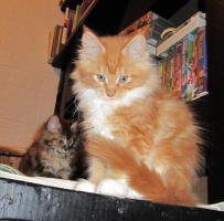 Foto 3 XXL Maine Coon Kitten Kätzin red + creme inkl. gechipter Stammbaum + Zuchtfreischaltung OHNE Aufpreis