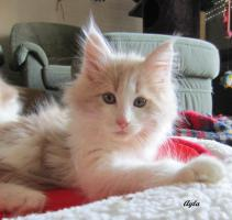 Foto 4 XXL Maine Coon Kitten Kätzin red + creme inkl. gechipter Stammbaum + Zuchtfreischaltung OHNE Aufpreis