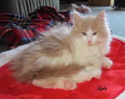 Foto 5 XXL Maine Coon Kitten Kätzin red + creme inkl. gechipter Stammbaum + Zuchtfreischaltung OHNE Aufpreis