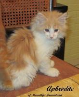 Foto 7 XXL Maine Coon Kitten Kätzin red + creme inkl. gechipter Stammbaum + Zuchtfreischaltung OHNE Aufpreis