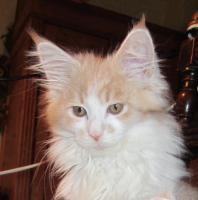 Foto 8 XXL Maine Coon Kitten Kätzin red + creme inkl. gechipter Stammbaum + Zuchtfreischaltung OHNE Aufpreis