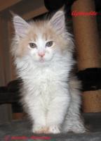 Foto 9 XXL Maine Coon Kitten Kätzin red + creme inkl. gechipter Stammbaum + Zuchtfreischaltung OHNE Aufpreis