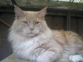 Foto 13 XXL Maine Coon Kitten Kätzin red + creme inkl. gechipter Stammbaum + Zuchtfreischaltung OHNE Aufpreis