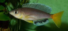 Foto 3 Xenothilapia, Cyantopharnyx, Cyprichromis