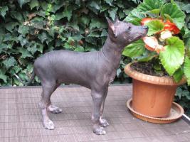 Xoloitzquintle - mexikanische Hund
