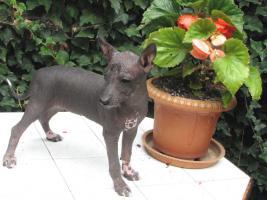 Foto 3 Xoloitzquintle - mexikanische Hund