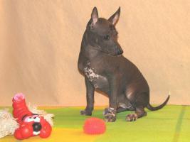 Foto 4 Xoloitzquintle - mexikanische Hund